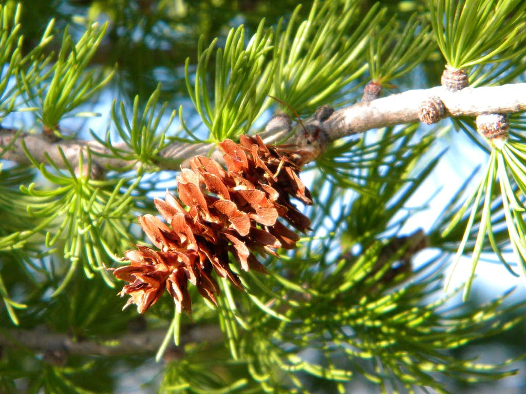 Subalpine Larch Cone