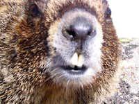 Beware of Marmot - Summit of...