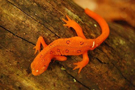 Eastern Newt in The Watauga Reserve