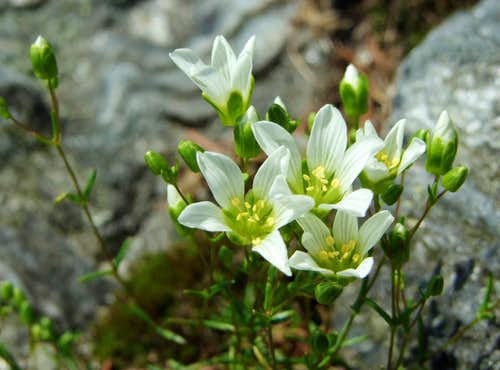 Mountain Sandwort on Mansfield