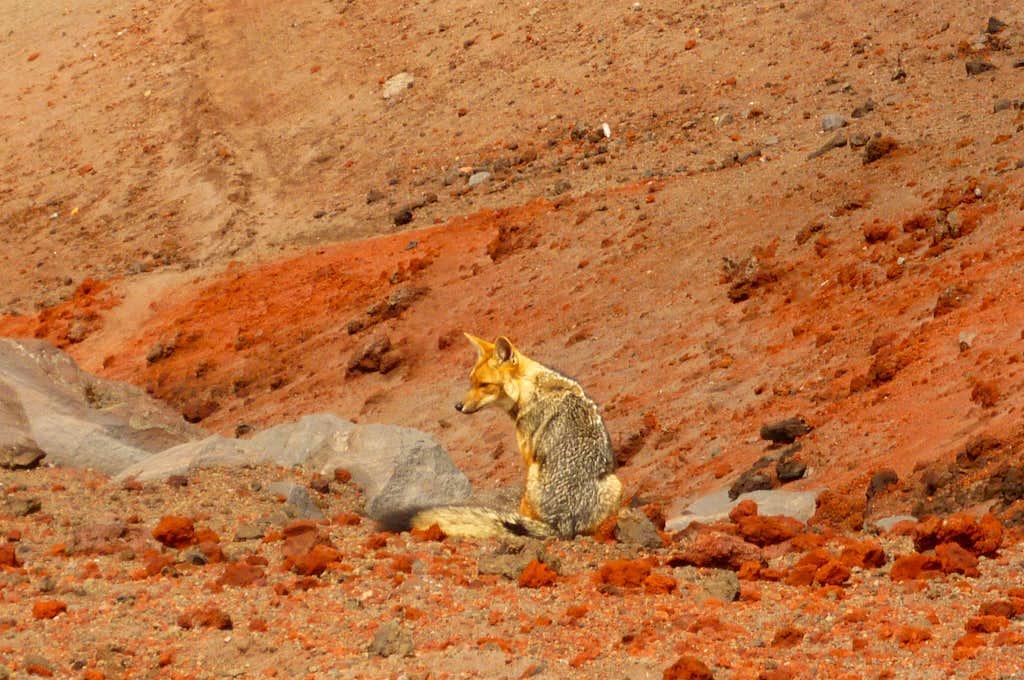 Fox just below the summit