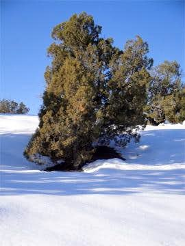 Juniper in Snow