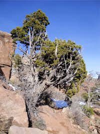 Juniper Along Trail