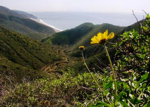 Mugu Peak Sunflower
