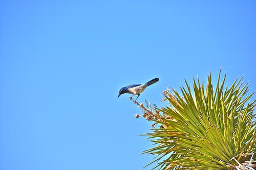 Scrub Jay on the base