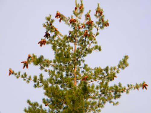White Pine Mega-Strobili