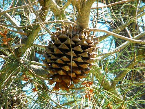 Digger Pine Cone