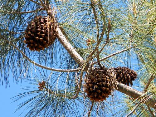 Big Cones of Digger Pine