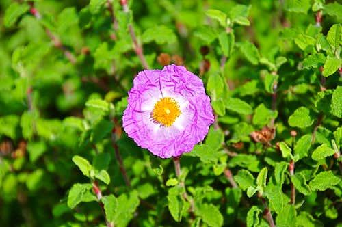 Wildflowers of The Santa Ynez Mountains