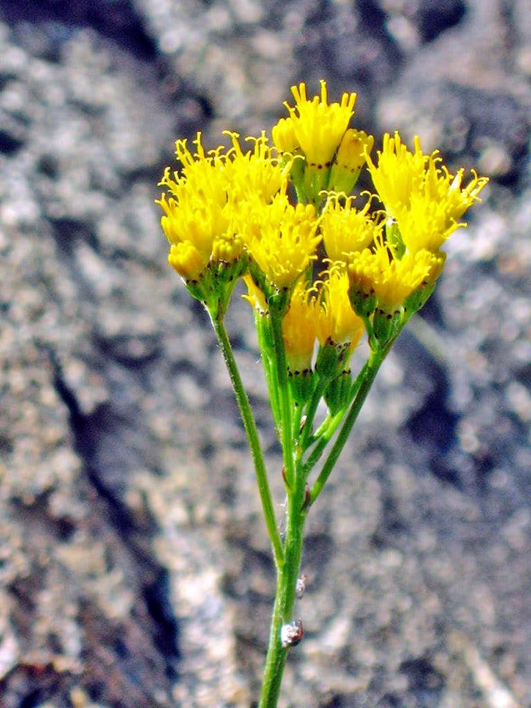 Sierra Butterweed