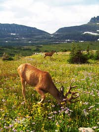 Mule Deer and Heavy Runner Mountain