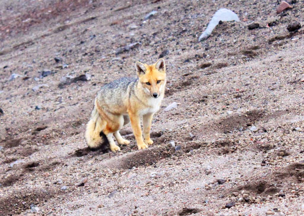 Andean Wolf