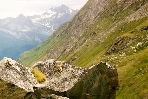 Marmot in Timmeltal