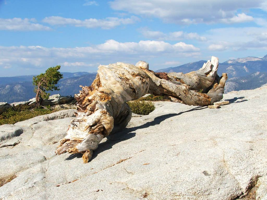 Jeffrey pine remains on Sentinel Dome