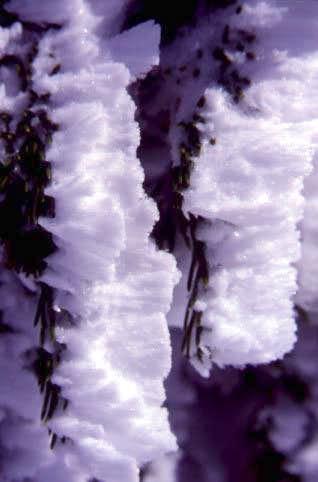 Frozen needles on a summit...