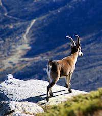 Young male Gredos Ibex