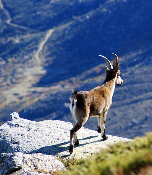 Young male Gredos Ibex
