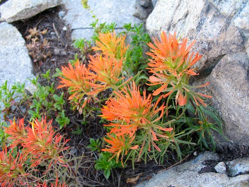Rocky Mountain Paintbrush