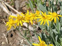 Large-head Senecio