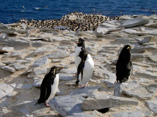 Falklands Fauna - Rockhopper Penguins