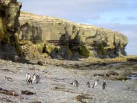 Falklands Fauna - Magellenic Penguins
