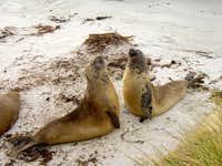 Falklands Fauna - Elephant Seals