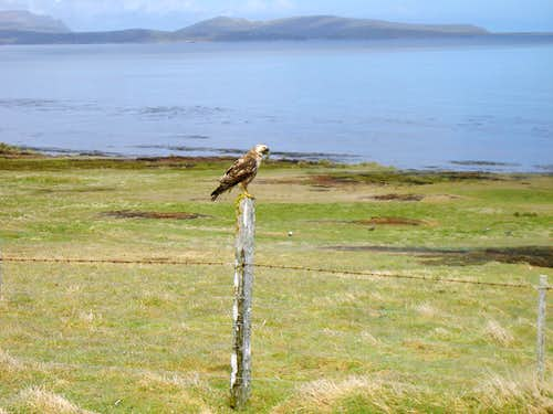 Falklands Fauna - Red Backed Hawk