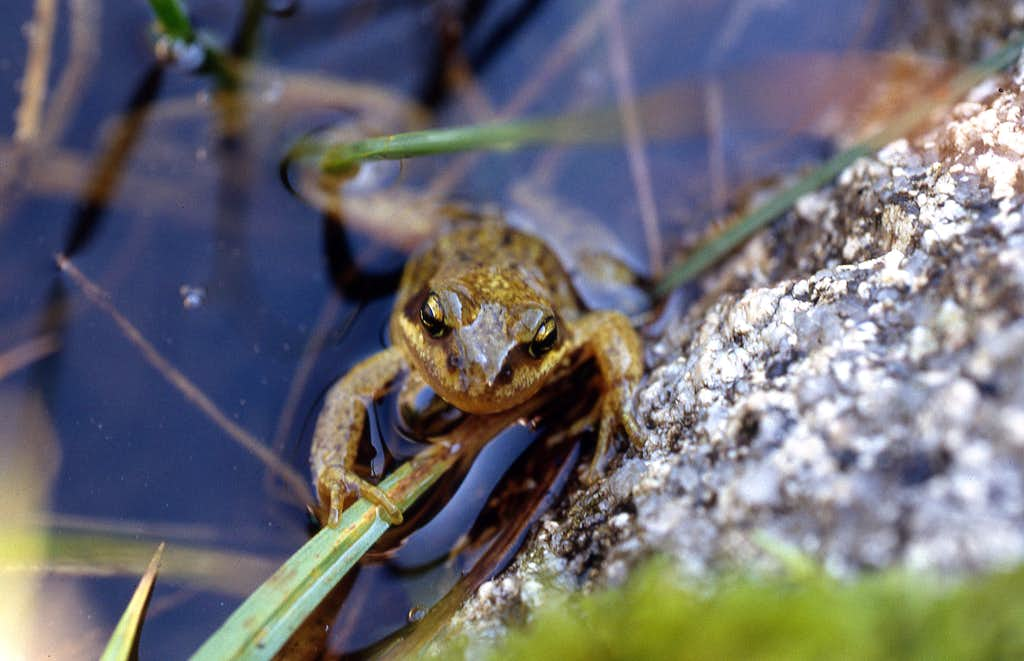 Small pyrenean frog