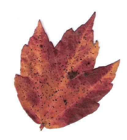 Pennsylvania Maple Leaf