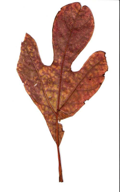 Autumn Sassafras Leaf