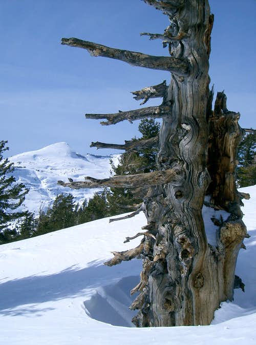 A Tree Pointing to Pyramid Peak in the Distance