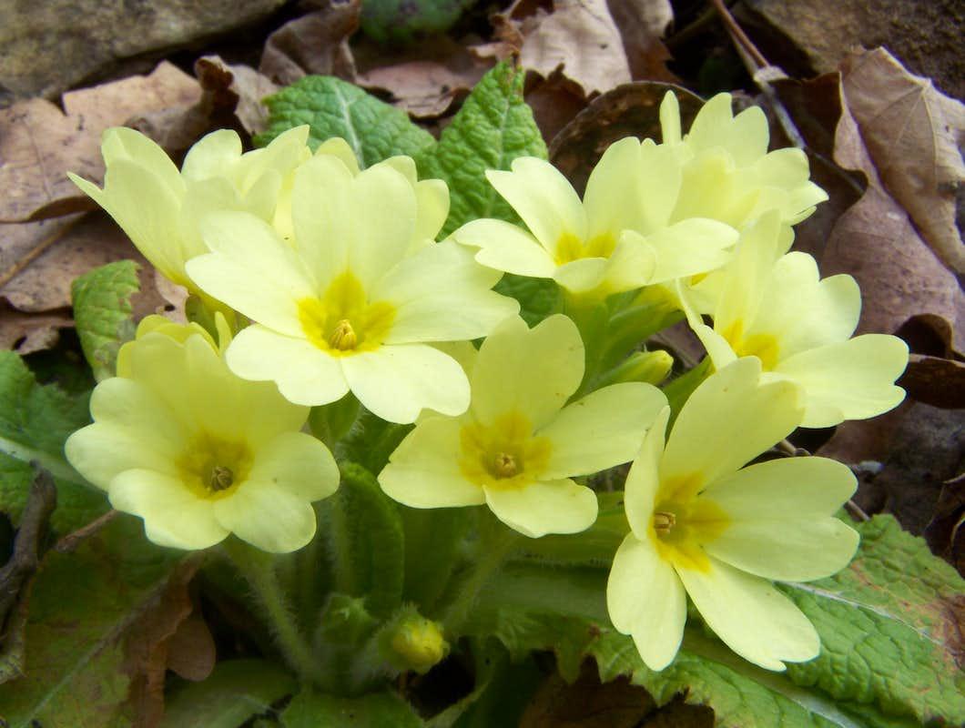 Primula vulgaris photos diagrams topos summitpost for Primule immagini