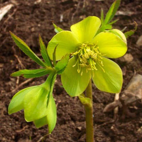 Helleborus odorus - the green flower
