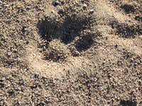 BIG cougar tracks