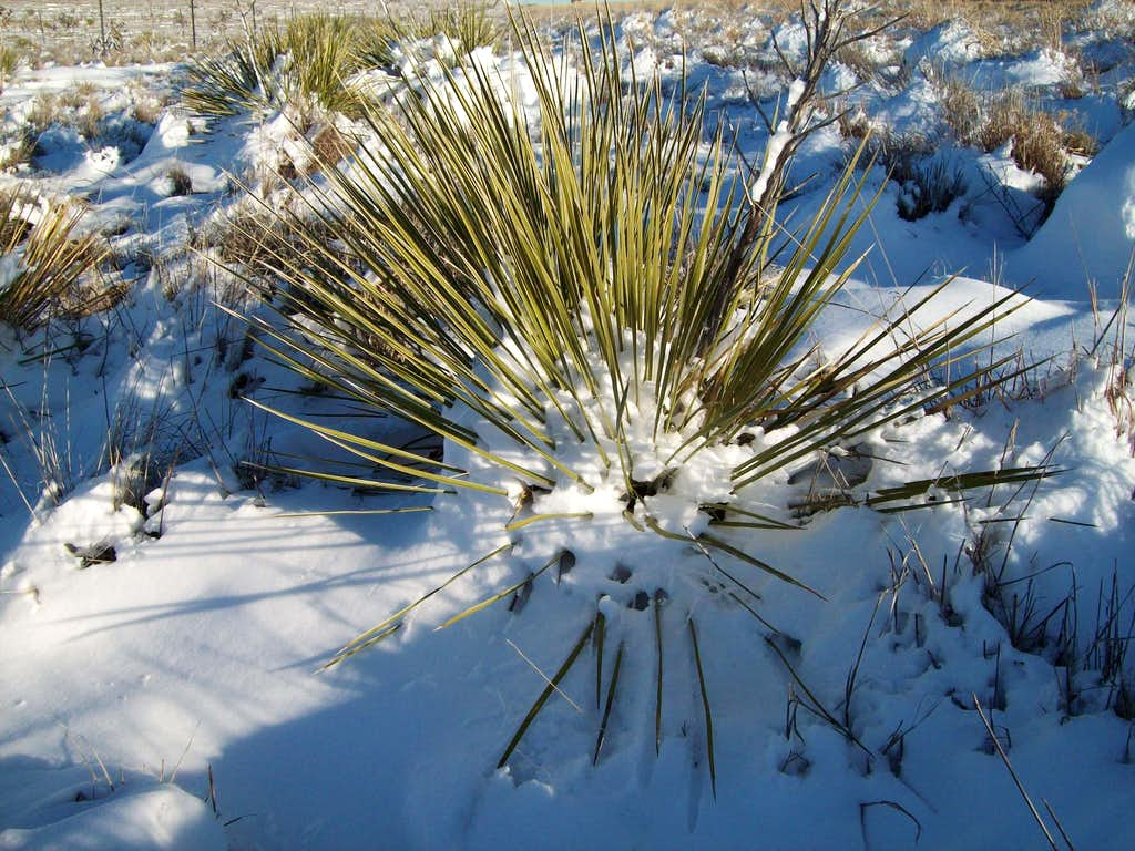 Snow on the Yucca