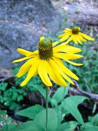 Rudbeckia Californica