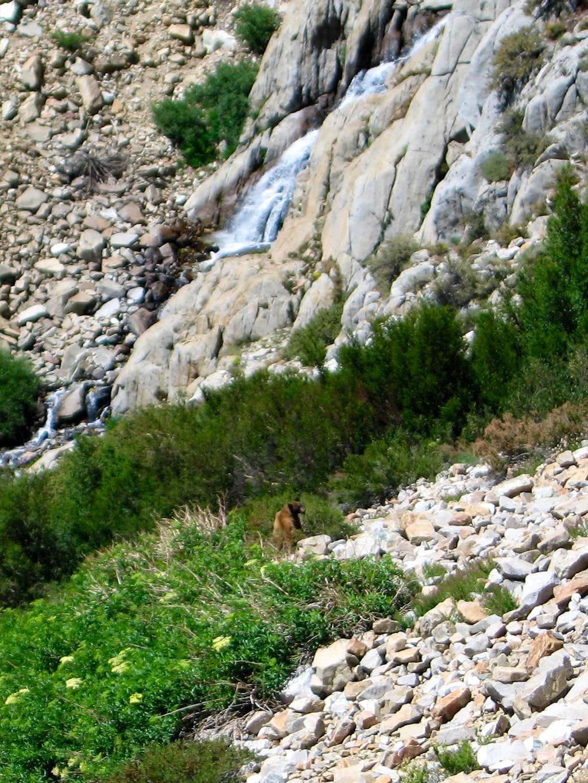 Bear below Taboose Pass