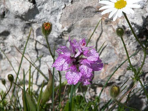 Orchis Neotinea tridentata