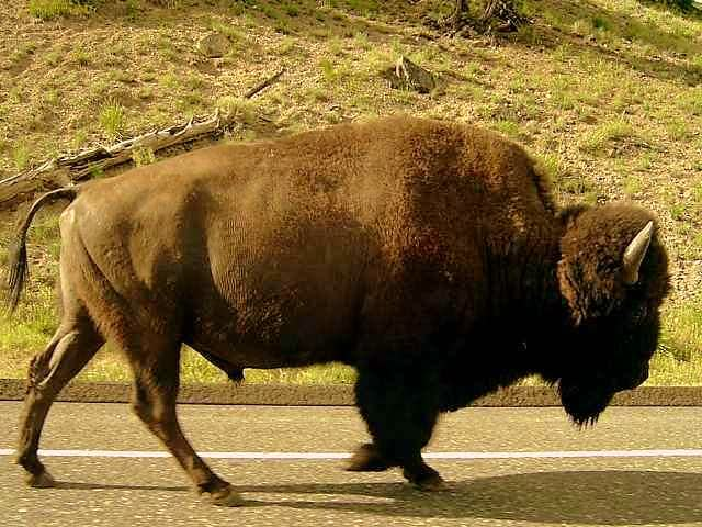 Bison on the way.