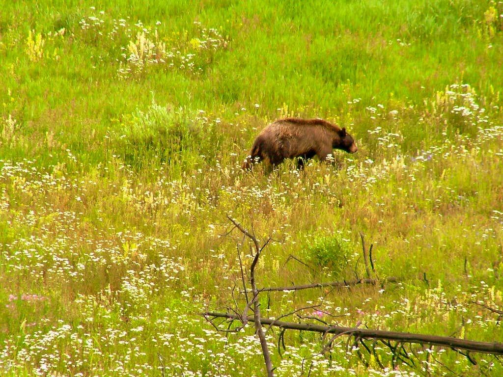 Yellowstone bear.
