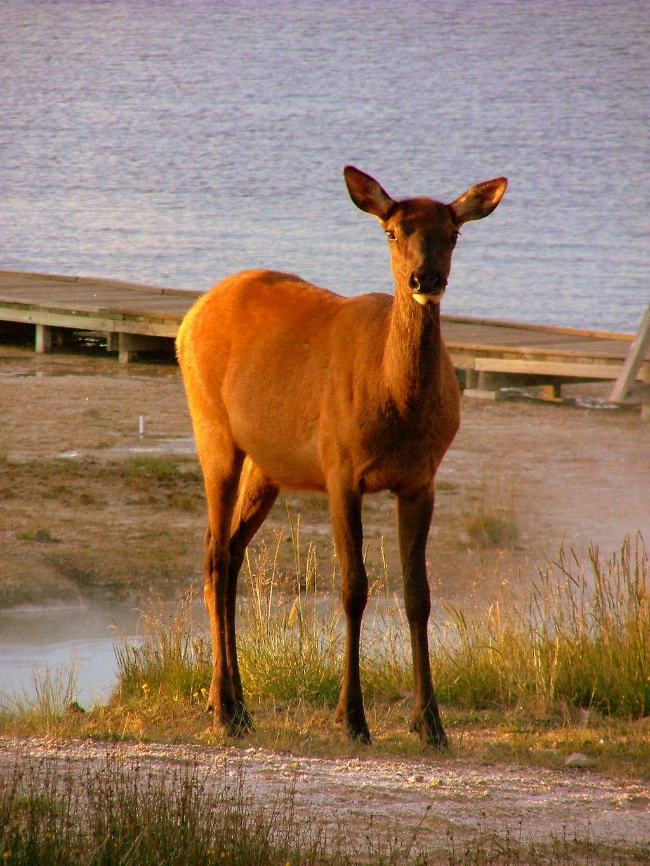 Yellowstone deer.
