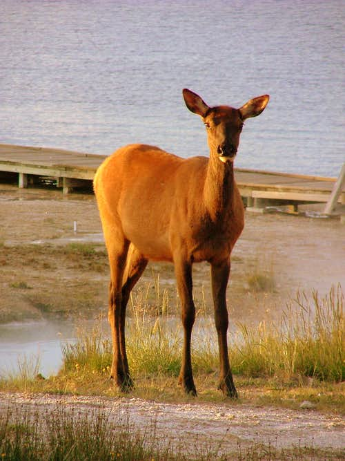 Yellowstone deer.