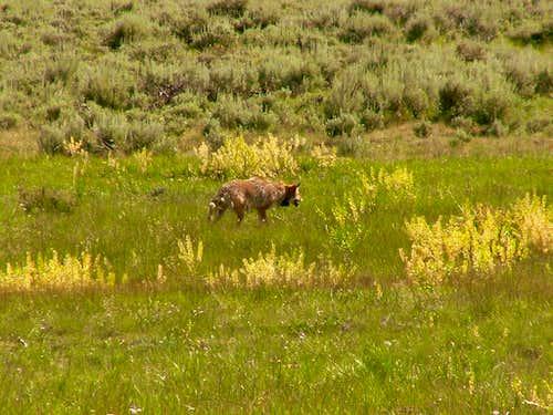 Yellowstone Coyote.