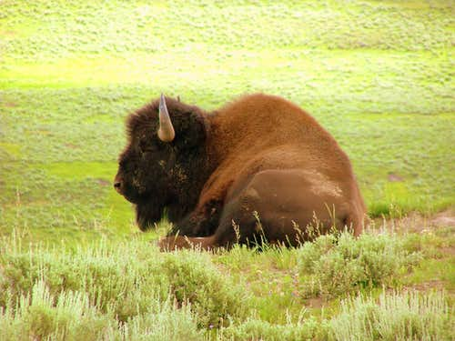 Bison at Lamar Valley.