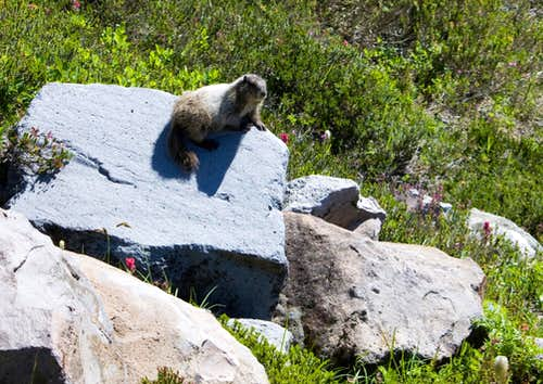 Marmot on Golden Gate Trail