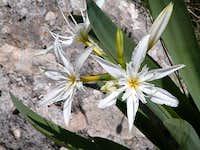 Pancratium illyricum L., St Pankratius Lily