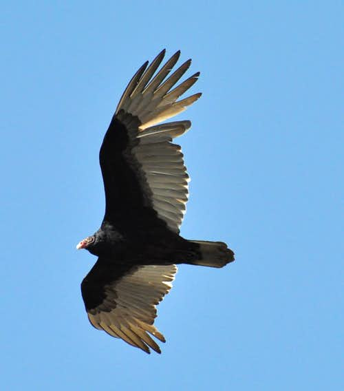 Another Turkey Vulture