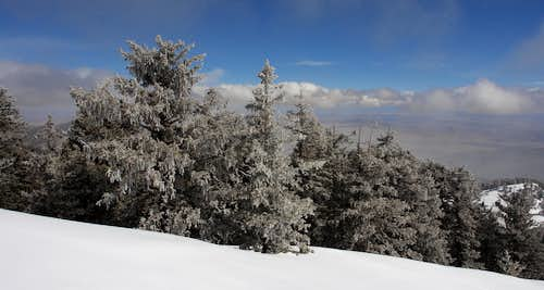 South Baldy: snow-dusted trees