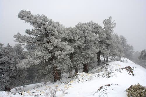 Snow-covered trees on the NE ridge of South Baldy