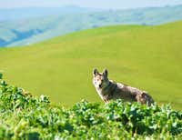 Coyote near Summit of Monument